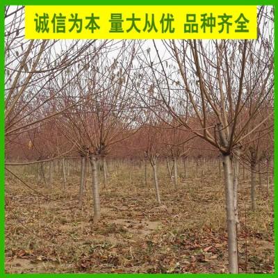5公分红叶碧桃