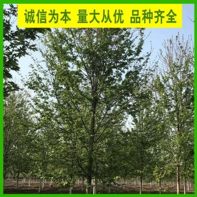 8公分美国红枫